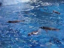 Gruppo di pinguini che nuotano insieme sulla cima dell'acqua fotografia stock libera da diritti