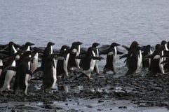 Gruppo di pinguini del adelie che corrono su Pebble Beach fotografia stock