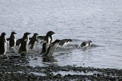 Gruppo di pinguini del adelie che entrano in acqua fotografia stock libera da diritti