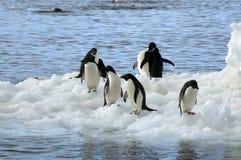 Gruppo di pinguini del adelie su ghiaccio di galleggiamento fotografie stock