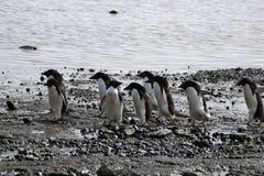 Gruppo di pinguini del adelie sulla spiaggia fotografia stock libera da diritti