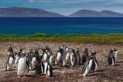 Gruppo di pinguini di gentoo nell'erba verde Pinguini di Gentoo con cielo blu con le nuvole bianche Pinguini nell'habitat della n Fotografie Stock