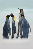 Gruppo di pinguini di re nel mare, punto volontario, Falkland Islands Gruppo di pinguini di re nella neve Gruppo di pinguini di r Fotografie Stock