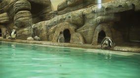 Gruppo di pinguini vicino allo stagno in uno zoo stock footage