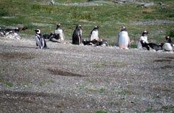 Gruppo di pinguino che riposa e che gioca fotografia stock