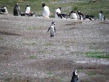 Gruppo di pinguino che riposa e che gioca immagini stock