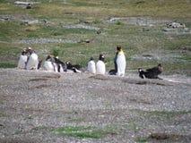 Gruppo di pinguino che riposa e che gioca a Usuahia fotografia stock libera da diritti