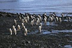 Gruppo di pinguino del adelie che arriva alla spiaggia immagini stock libere da diritti