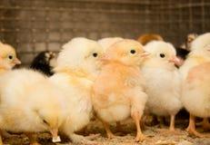 Gruppo di poco vecchio pollo del bambino di giorni Fotografia Stock