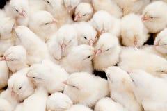 Gruppo di pulcini del bambino Fotografie Stock