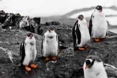Gruppo di pulcini del pinguino Fotografie Stock