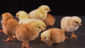 Gruppo di pulcini neonati gialli e marroni stock footage