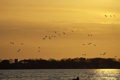 gruppo di querquedula di anas contro il tramonto Fotografia Stock Libera da Diritti