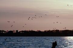 gruppo di querquedula di anas contro il tramonto Fotografia Stock