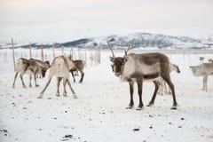 Gruppo di renne nell'inverno Fotografia Stock