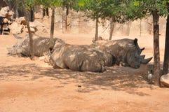 Gruppo di rhinos Immagine Stock