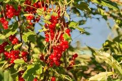 Gruppo di ribes rosso sul cespuglio, estate, fine su immagine stock libera da diritti