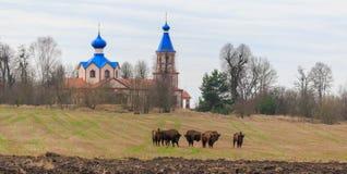 Gruppo di riposo eueopean dei tori del bisonte Fotografie Stock
