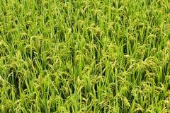 Gruppo di riso Immagine Stock Libera da Diritti