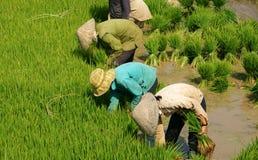 Gruppo di riso vietnamita della scrofa dell'agricoltore Immagine Stock