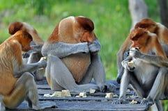 Gruppo di scimmie di Proboscis Fotografie Stock
