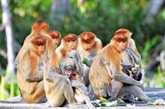 Gruppo di scimmie di Proboscis Fotografia Stock