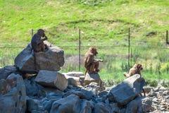 Gruppo di scimmie nello zoo di Tbilisi Immagini Stock