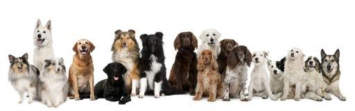 Gruppo di seduta dei cani Immagine Stock