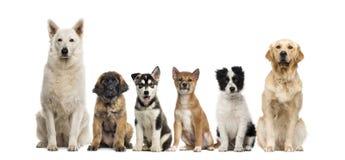 Gruppo di seduta dei cani Fotografia Stock