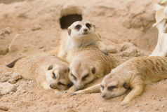 Gruppo di sonno del meerkat Fotografia Stock Libera da Diritti