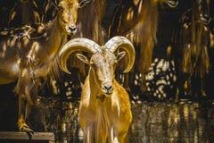 Gruppo di stambecchi, mammiferi della famiglia con i grandi corni Immagini Stock Libere da Diritti