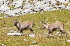 Gruppo di stambecco alpino Fotografie Stock