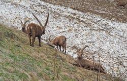 Gruppo di stambecco alpino su campo di neve nella stagione primaverile che si cammuffano con la neve sporca di detriti L'Italia,  fotografia stock