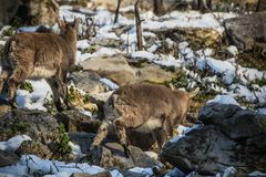Gruppo di stambecco nella stagione invernale Fotografia Stock