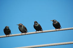 Gruppo di starling Immagini Stock Libere da Diritti