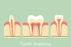 Gruppo di struttura di anatomia del dente compreso l'osso e la gomma, molare, incisivo, canino illustrazione di stock