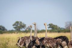 Gruppo di struzzi che stanno nell'alta erba Immagini Stock Libere da Diritti