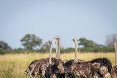Gruppo di struzzi che stanno nell'alta erba Fotografie Stock Libere da Diritti