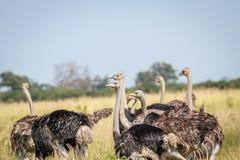 Gruppo di struzzi che stanno nell'alta erba Fotografia Stock Libera da Diritti