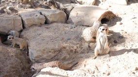 Gruppo di suricates divertenti dei meerkats stock footage