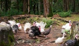 Gruppo di tacchini messi le piume a in bianco e nero della fauna selvatica che camminano nel legno Immagini Stock