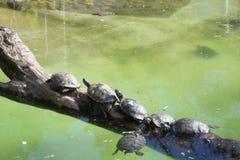 Gruppo di tartarughe accanto allo stagno Fotografia Stock