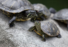 Gruppo di tartarughe che Basking Fotografia Stock Libera da Diritti
