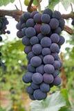 Gruppo di terminali blu dell'uva Fotografia Stock Libera da Diritti