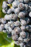 Gruppo di terminali blu fresco dell'uva Fotografia Stock Libera da Diritti