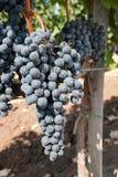 Gruppo di terminali blu fresco dell'uva Immagine Stock Libera da Diritti
