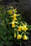 Gruppo di terminali dei Daffodils Fotografie Stock Libere da Diritti