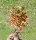 Gruppo di terminali del baccello del seme dell'albero di acero Immagini Stock