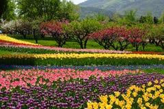 Gruppo di terminali del tulipano Immagine Stock