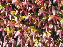 Ivy Cluster Fotografia Stock